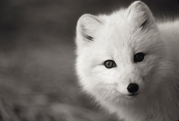 Baffin Island S Wandering Canadian Arctic Foxes
