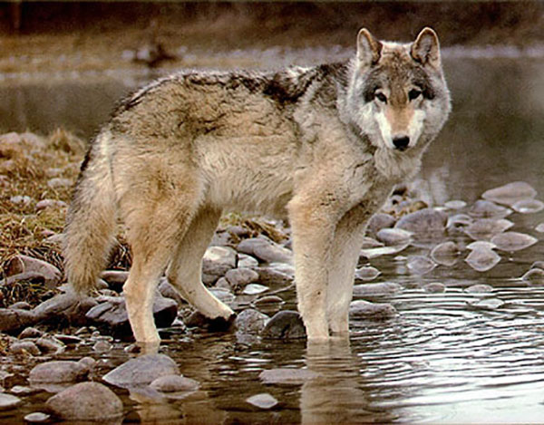 Audio Tales: Listen to the Howls of Wolves