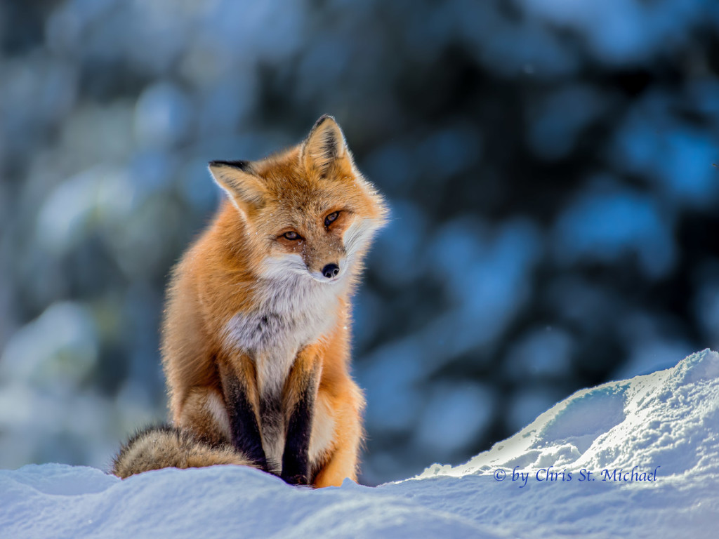 Wildlife Photo of the Week: Curious Red Fox