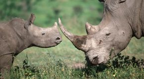 QUIZ – How to Differentiate African Rhinoceroses