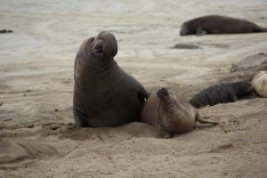 elephant seal family