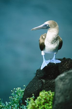 Image of a Blue-Footed Booby in the Galapagos. © Steven Morello