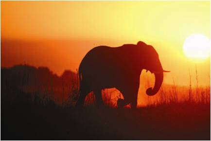 A sunset photo of an elephant, taken by wildlife photographer Steven Morello.