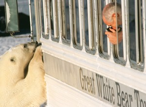 Polar Bear Looking into Buggy
