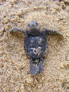 Olive Ridley's sea turtle