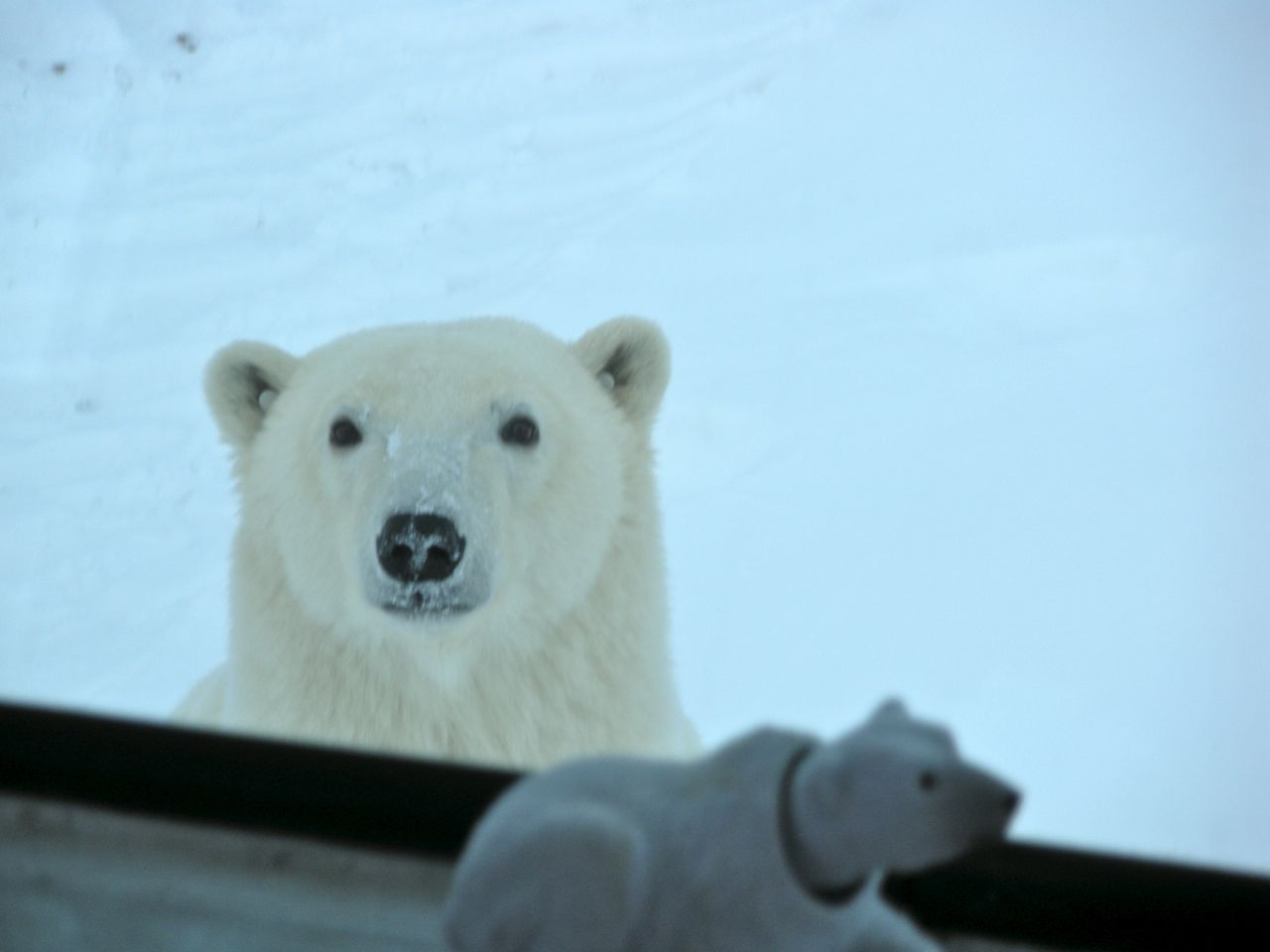 Face to face with polar bears in Churchill