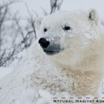 Polar bear tours with Natural Habitat Adventures