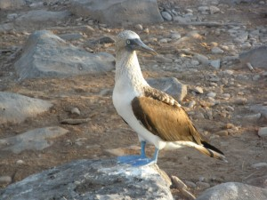 Blue-footed booby. Copyright Wendy Worrall Redal.