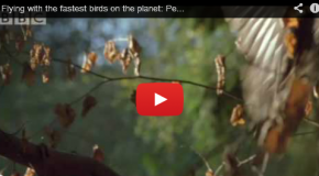 Video: Flying through Forests as a Goshawk