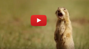 Video: Talk of the (Prairie Dog) Town