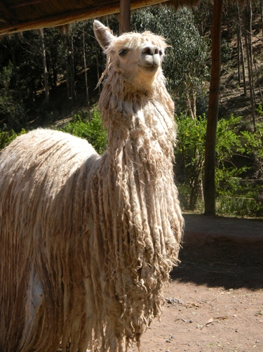 amazon-and-macchu-pichu-alpaca-2
