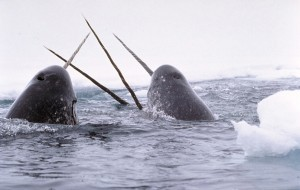 Narwhals-300x190
