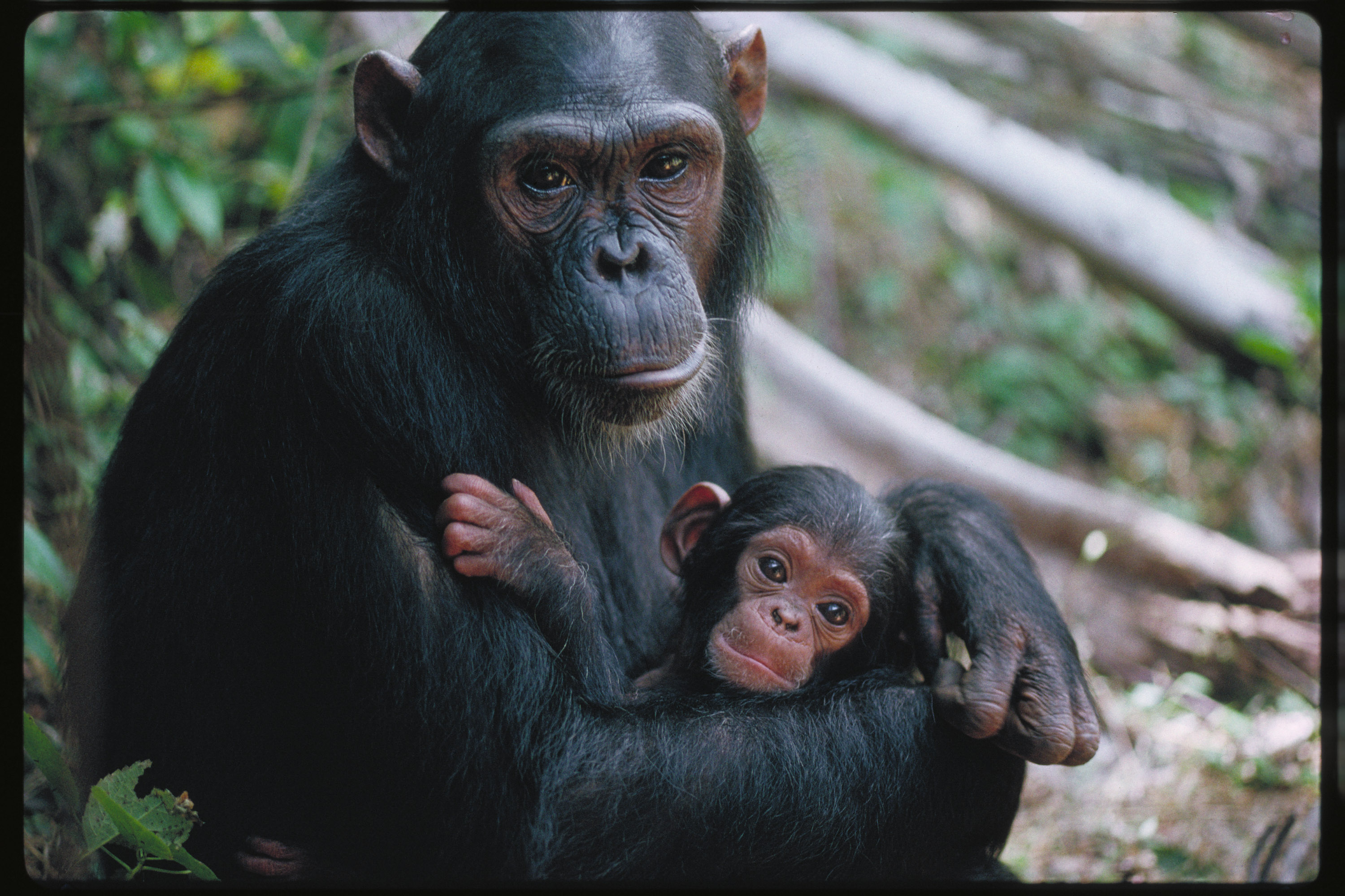 Choose to Champion a Chimpanzee
