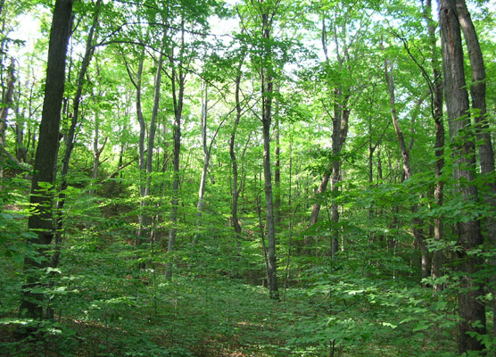 Maple Beech Forest