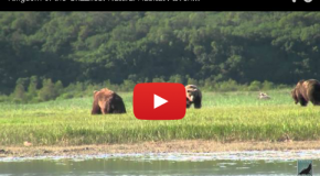 Amazing Alaska Grizzly Bear Videos