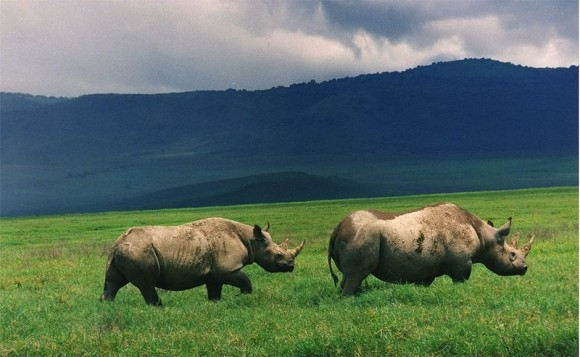 Black Rhinos in Crater