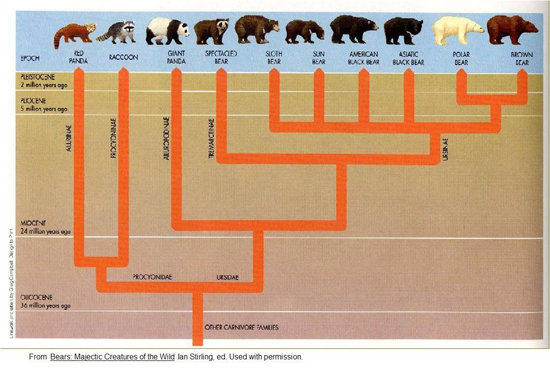 Bear evolutionary tree