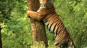 Tiger Numbers on the Upswing in India