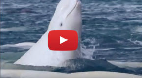 Video: Beluga Bath Time