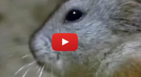 Videos: Lemming Suicide, the No. 1 Nature Hoax