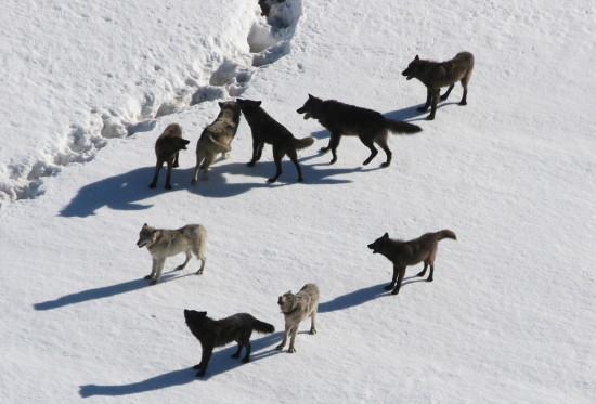 Gibbon wolf pack standing on snow