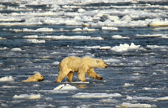 Study: Polar Bear Cubs Drowning Due to Sea Ice Loss