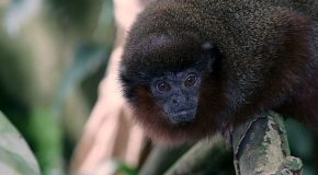 New monkey species discovered in Amazon