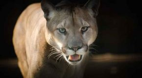 Extraordinary Cougar Caught on Tape