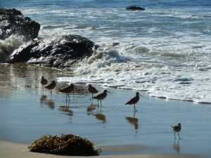 Sandpipers on the Southern California coast. Photo: Wendy Worrall Redal.