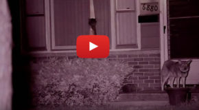 Video: Urban Coyote