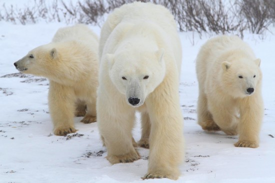 Coca-Cola, WWF and NHA Join Forces to Protect Polar Bears