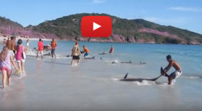 Beached Dolphins Rescued