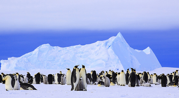 A new study found that there are more emperor penguins in Antarctica than expected. ©Anne Frohlich, flickr
