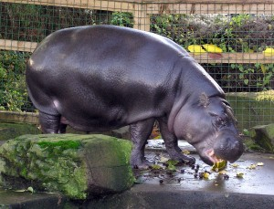 Pygmy hippo at the Bristol Zoo.