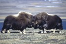 Kayak With 70,000 Musk Oxen!