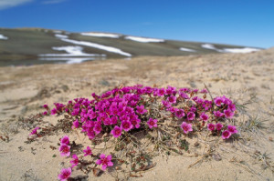 Purple saxifrage in Aulavik National Park, NWT. Photo: Parks Canada