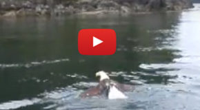 Bald Eagle Does the Breaststroke