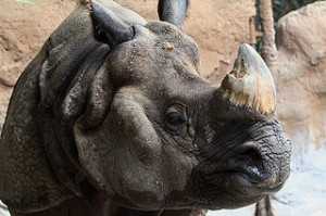 One-horned rhino