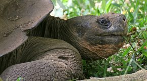 Lonesome George, I Will Miss You