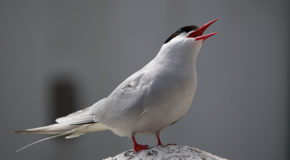 World Tour of the Arctic Tern
