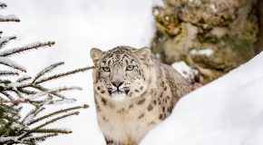 Video: Snow Leopards Tagged in Afghanistan for the First Time