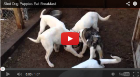 Video: The Sled Dog Puppy Breakfast Wheel