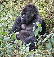 Calling on Mountain Gorillas