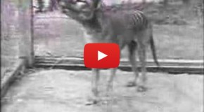 Video: The Last Tasmanian Tiger