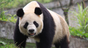 Protecting Panda Habitat: China's First Land Trust Reserve