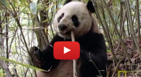 Rare Video Footage of Wild Pandas