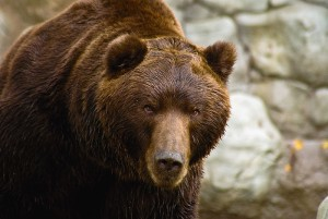 Brown-bear-300x201