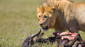 Are Fences the Last, Best Hope for African Lions?