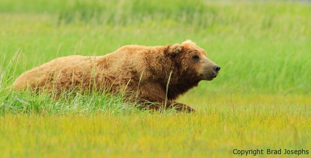 Nat Hab's Own Brad Josephs Stars in New Discovery Channel Program on Alaska's Grizzly Bears