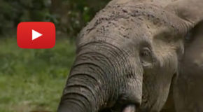 Video: Writing the World's First Elephant Dictionary